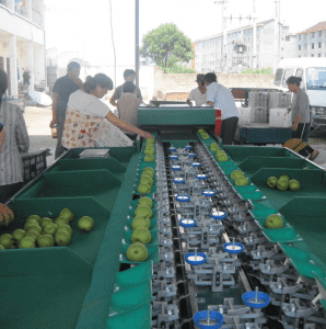 Automatic Avocado/Apple/Pear /Apricot Grading/Sorting Machine